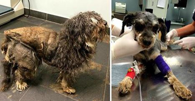 Badly Neglected Dog in a Cocoon of Fur Gets the Rescue He Desperately Needs