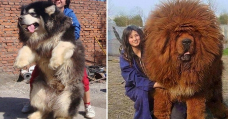 These 20 humungous dogs don't know they are TOO big to be cuddly!