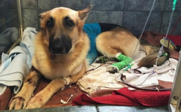 Over $50,000 Raised for Rescue Dog That Took Snakebites to Save Little Girl