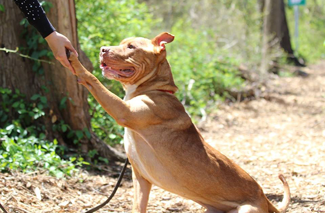 Dog Dedicates Life to Giving Everyone He Meets a High-Five After Surviving Being Shot in the Head