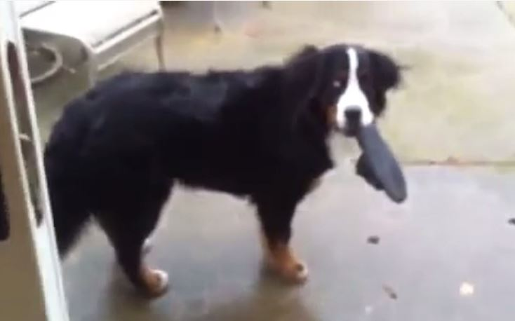 A Playful Bernese Mountain Dog Reveals His Secret Hiding Place For Dad's Slipper