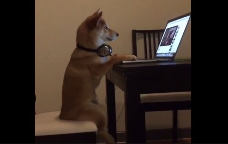 Dog sits comfortably like a human – enjoys watching laptop