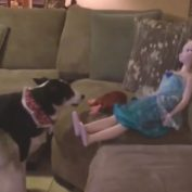 Confused Dog Attempts To Play Fetch With A Life-Sized Princess Elsa Doll.