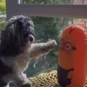 Dog Hilariously Loses Fight Against Minion