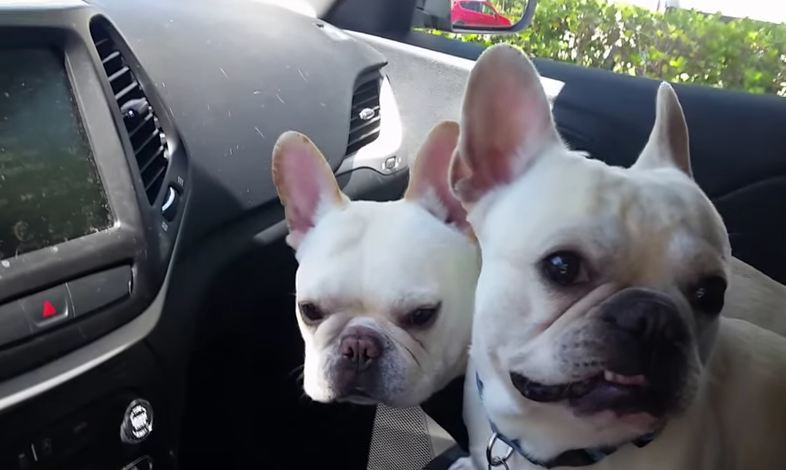 French Bulldogs Can't Contain Their Excitement When Dad Mentions The Dog Park