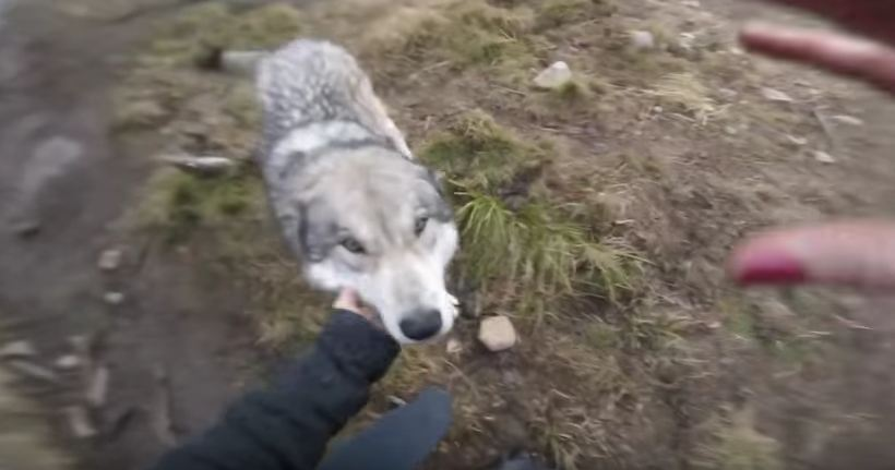 Wolf Dogs Welcome Their Owner With Excited Howls And Kisses