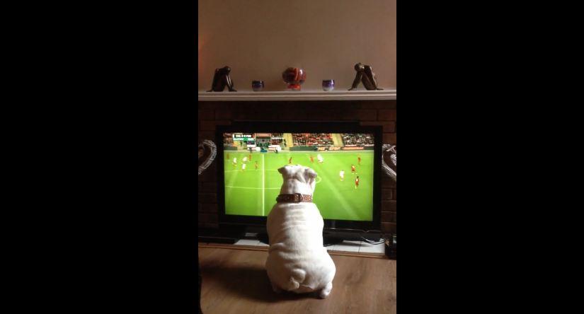Bulldog loves soccer, deeply involved in match on TV