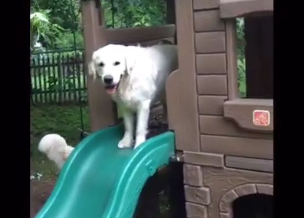 Playful Golden Retriever discovers the slide