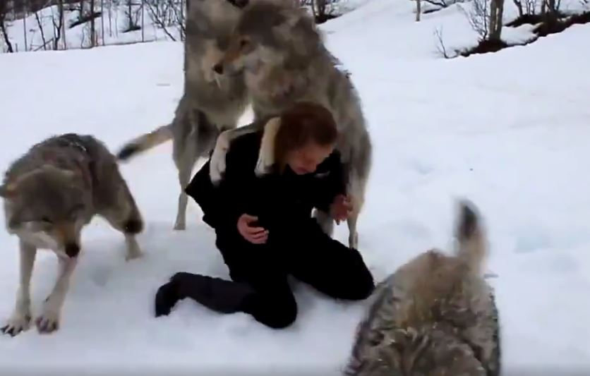 Girl Who Rescued These Wolves As Pups Five Years Ago Gets Runion of a Lifetime