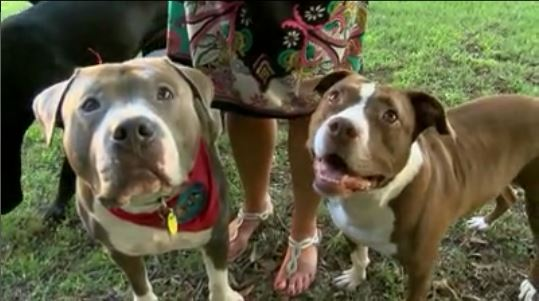 Thirteen Pit Bulls Rescued from Suspected Fighting Ring in South Carolina