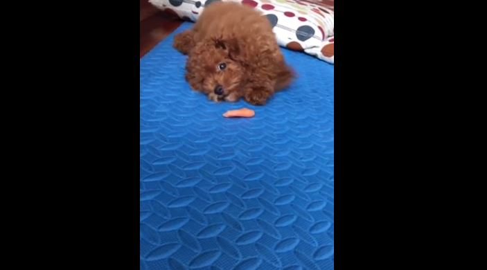 Cute puppy unsure what to do with frozen carrot