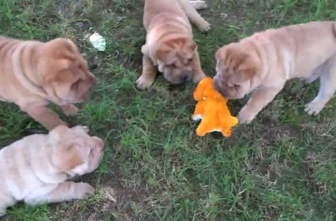 Shar Pei puppies fascinated by robot dog