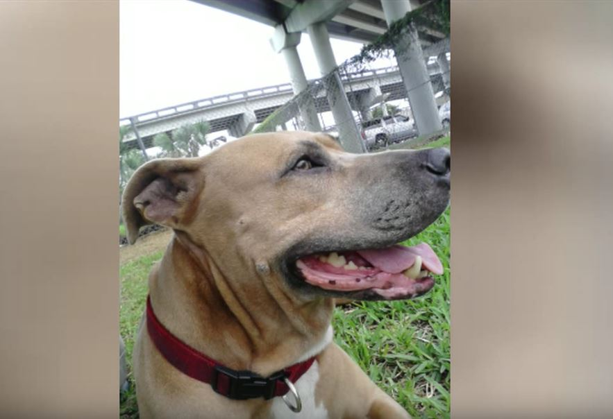 Loyal Service Dog Sacrifices Her Life To Protect Her Human From An Alligator