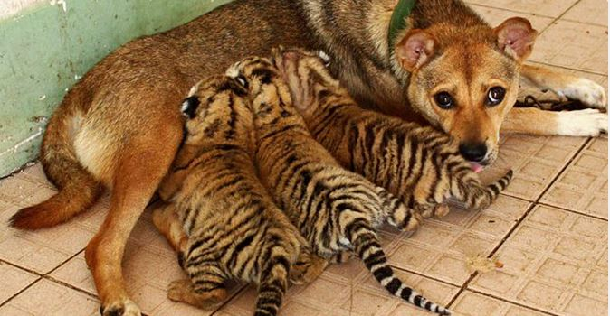 The unlikeliest mother for rescued tiger cubs to give them a new start in life