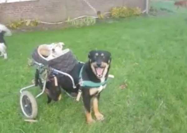 Two-Legged Dog Uses Wheelchair To Cruise With Deaf, Blind Best Friend