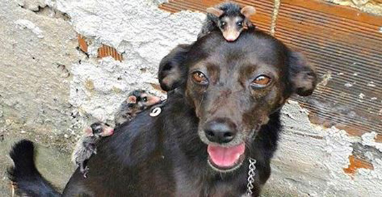 Dog Adopts Four Orphaned Opossums And Gives Them Adorable Piggyback Rides