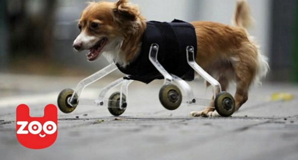 Legless Dog Has Unique Way to Get Around