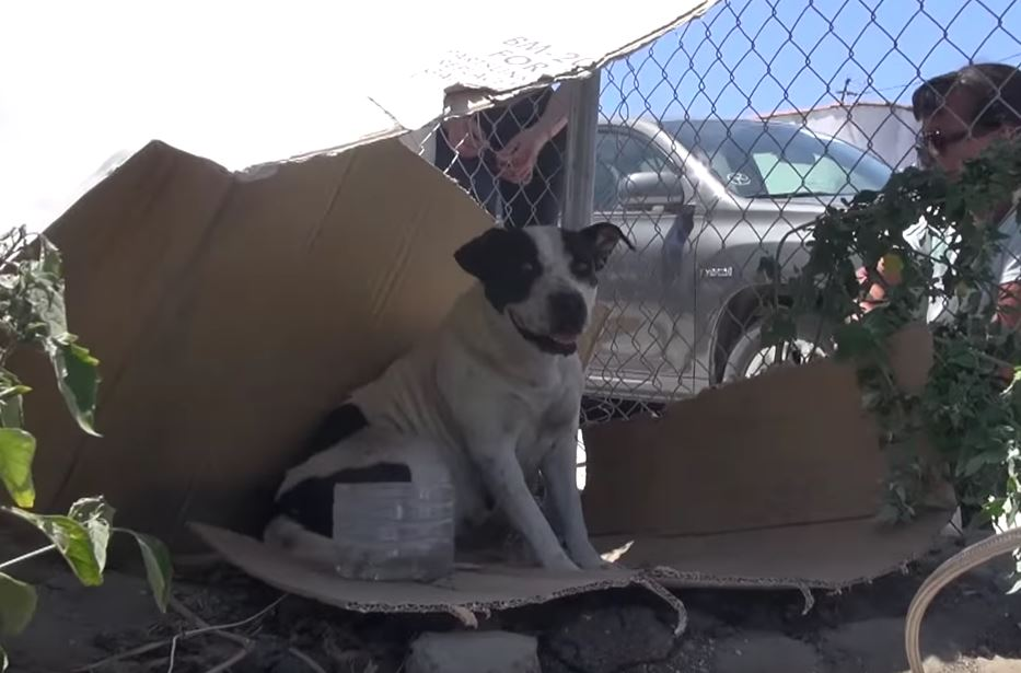 Rescue of a homeless Pitbull living in an abandoned yard
