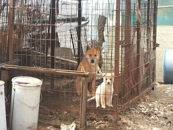 Furbabies Aren't Food! Two Dogs Saved From South Korea Slaughterhouse