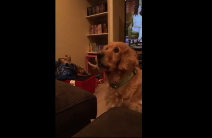 Golden Retriever licks chops before making amazing catch