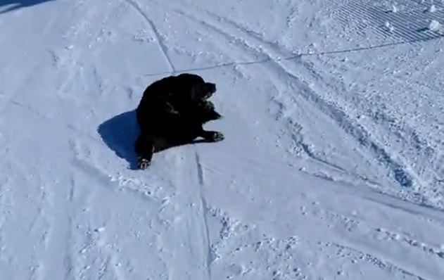 Labrador hilariously sleds down ski slope