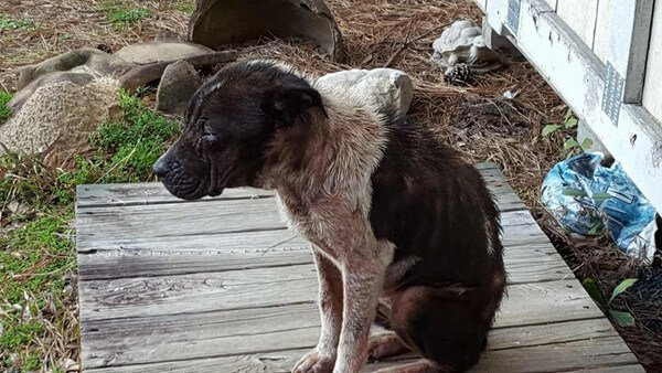 Sick, Severely Emaciated Dog Left To Fend For Himself