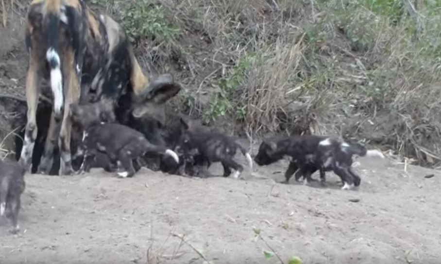 Your Heart Will Melt When You See These African Dog Pups Emerge For The First Time