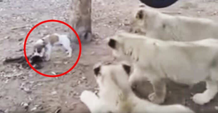 Three Lion Cubs Surround A Tiny Dog. Then He Finally Turns Around…