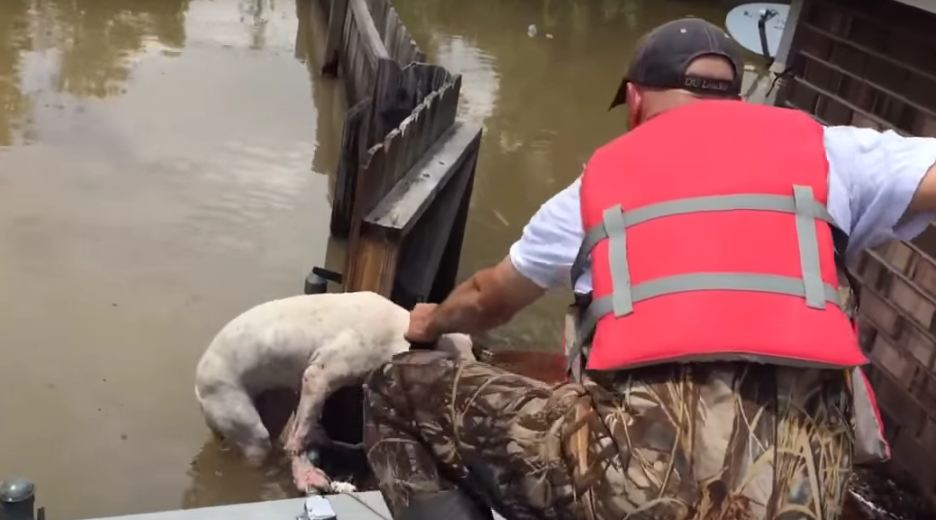 Pit Bull Clings To Broken Fence As Louisiana Flood Volunteers Try To Save Him
