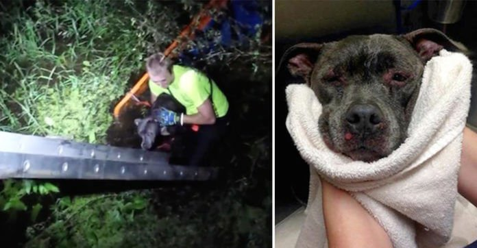 Firefighter Rescues Pit Bull Thrown Into Swamp And Bitten By Alligators