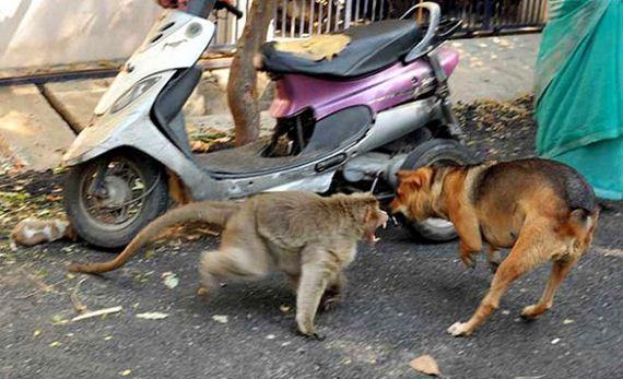 02-rhesus-monkey-adopts-orphaned-street-puppy