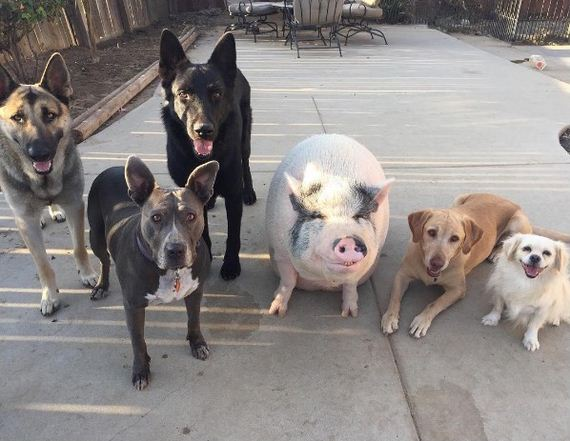 Chowder The Rescue Pig Is Raised By 5 Dogs, Thinks He's One Of The Pack