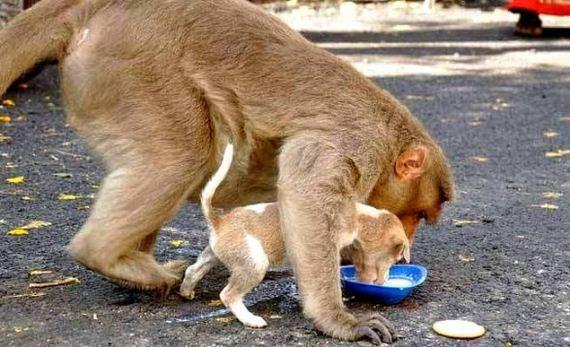 03-rhesus-monkey-adopts-orphaned-street-puppy