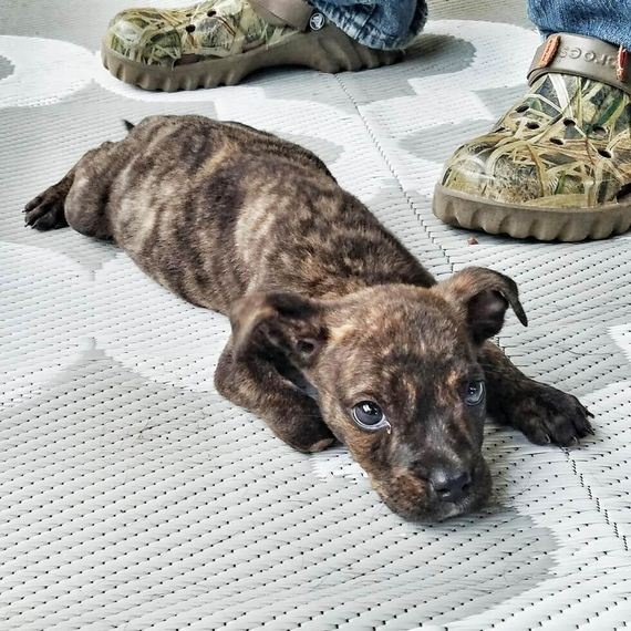 A Puppy Was Found With A Missing Paw, And Was Going To Be Euthanized Just Because She's A Pit Bull.