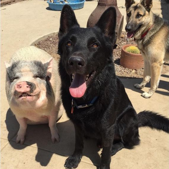 04-pig-dogs