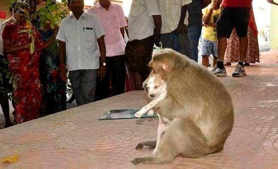 04-rhesus-monkey-adopts-orphaned-street-puppy