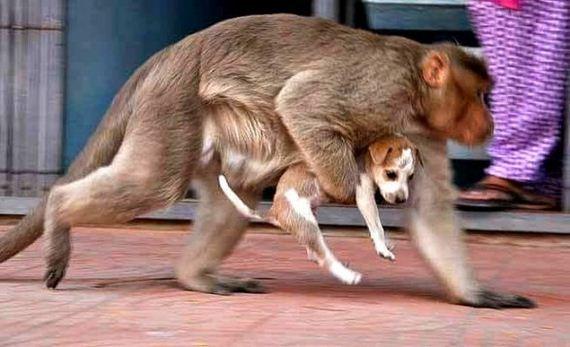 05-rhesus-monkey-adopts-orphaned-street-puppy