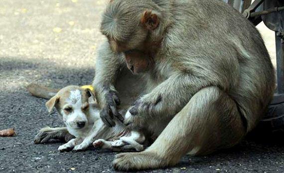 07-rhesus-monkey-adopts-orphaned-street-puppy