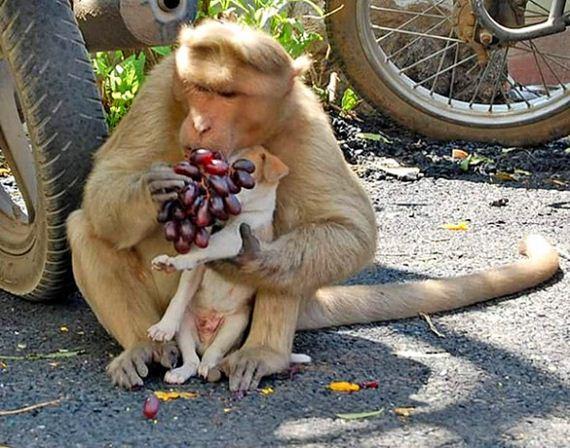 08-rhesus-monkey-adopts-orphaned-street-puppy
