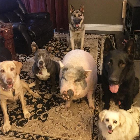 11-pig-dogs