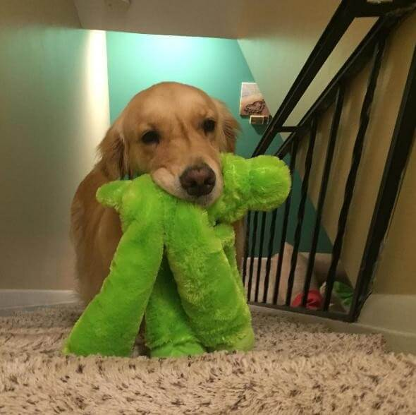 Dog Takes A New Toy To Bed With Her Every Night