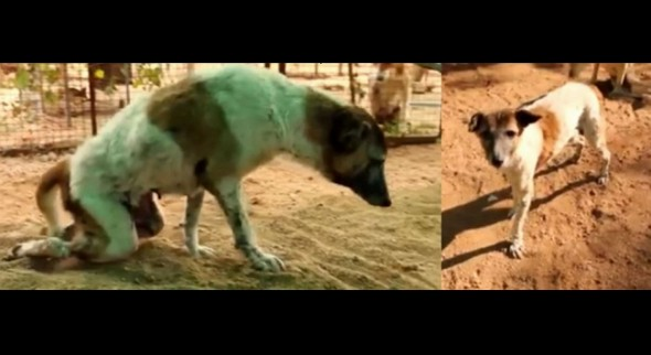 Miracle Worker Renews Legs and Spirit of Street Dog