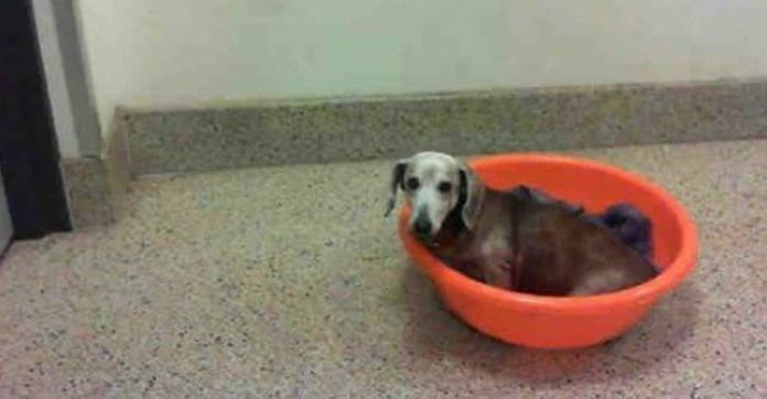 Paralyzed Senior Dog Who Deserves Love Abandoned On The Street In A Plastic Tub