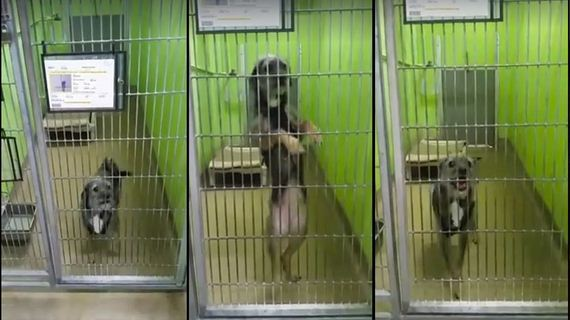 Dog Wants Adopted So Badly, She Dances Every Time She Sees Someone