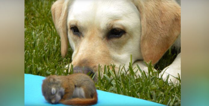 Millie The Labrador Decides To Adopt Baby Squirrel
