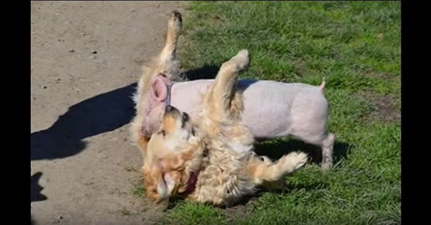 It's All Tears When A Dying Baby Pig Meets A Blind Dog