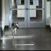 German Shepherd Escapes Shelter and Goes Looking for Her Former Human
