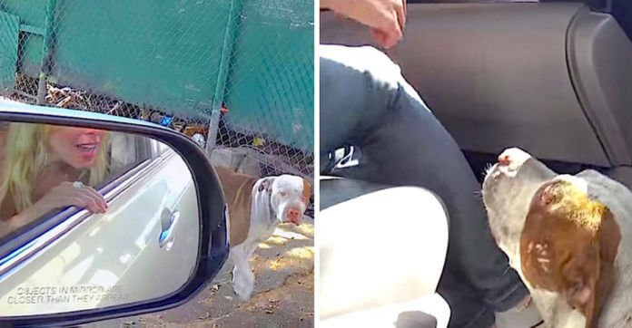 Abandoned Pit Bull Living On The Street Wants To Jump Right Inside A Stranger's Car