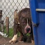Kids Would Throw Rocks At A Pit Bull Who Just Wanted To Be Loved
