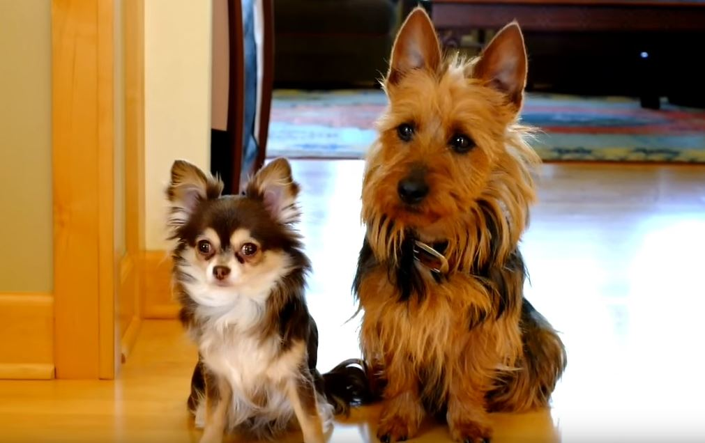 "When Asked ""Who Pooped In The Kitchen?"" One Pup Totally Betrays The Other"